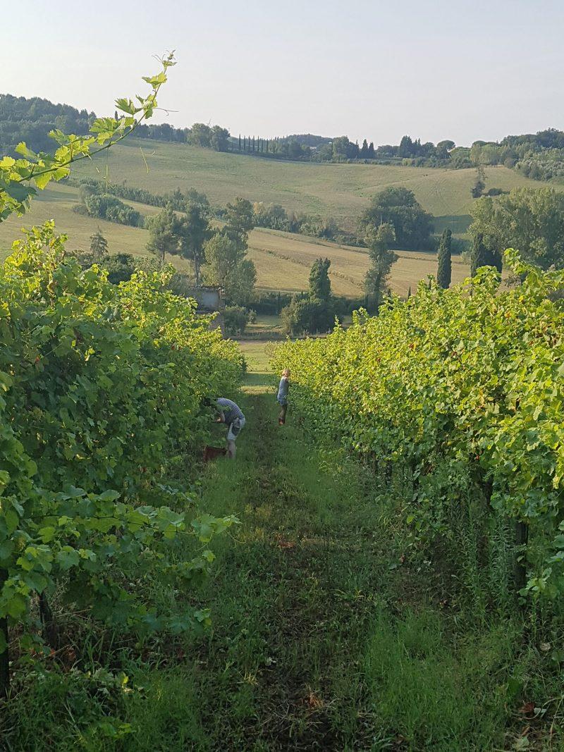 Vineyard Ciliegiolo