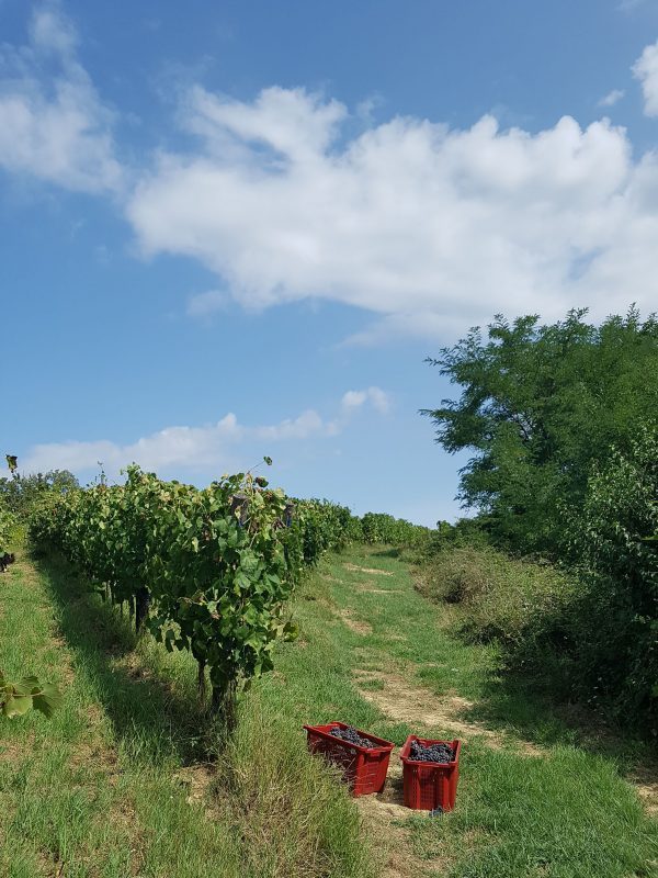 vineyard foglia tonda